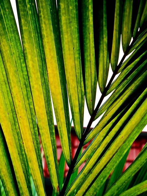 IMG_1747 Palm Leave , 棕榈叶
