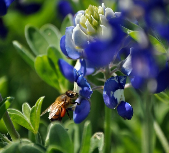 bluebonnets 4-2-11 (79)-edit