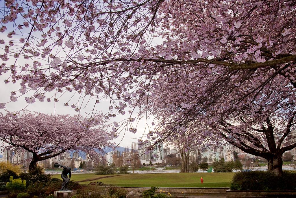 Sakura @ Vancouver Museum