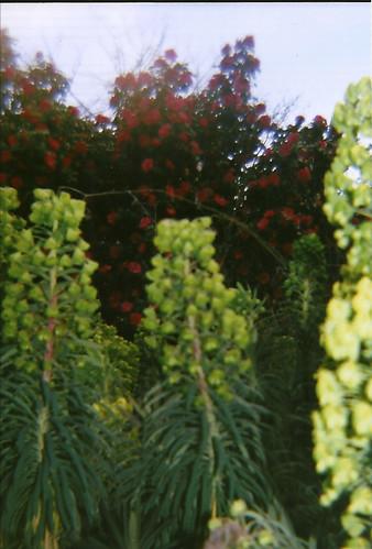 euphorbia and camellias