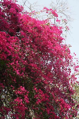 City Season - Bougainvillea Bloom, Around Town