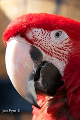 Macaw (Grand-Poobar) Tags: red wild color bird nature colors up look birds animal animals close shot head wildlife beak feathers feather parrot down aggressive brilliant avian plumage