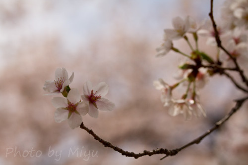Cherry blossoms and a curved branch