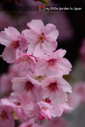 spring-in-tokyo-8