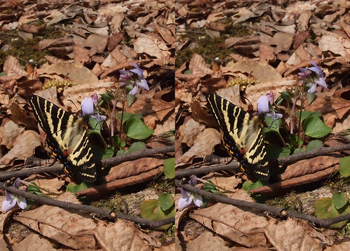 Luehdorfia japonica, stereo parallel view