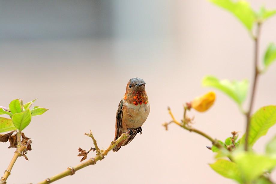 Allen's Hummingbird 07071