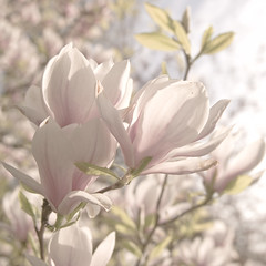 The art of Spring - Magnolia blossom (Marco Boekestijn) Tags: spring light soft tones blossom bloesem tegenligt backlight white pink purple red cherry magnolia desaturate colours bokeh out focus square art tree sunset flowers flower blur detail marco boekestijn delft netherlands photography nikon d80 blossoms