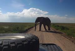 Serengeti Elephant 1