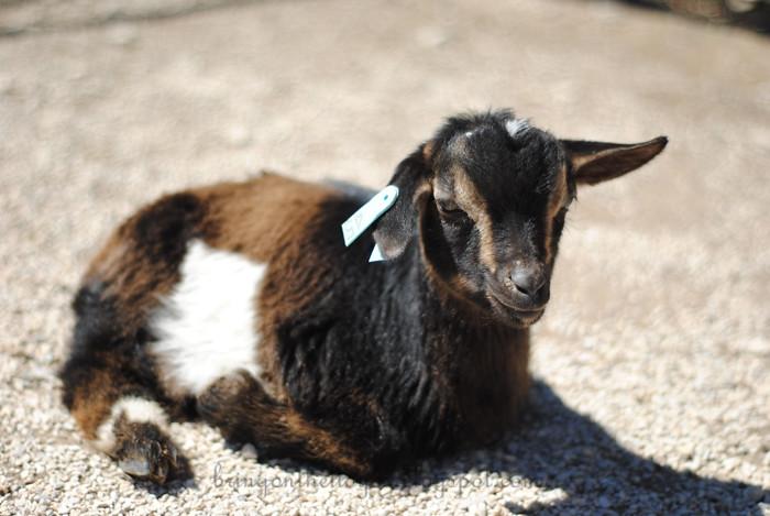 DeannaRose-goats-3