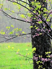 Redbud in the Rain (Universal Pops) Tags: county flowers tree green nature rain fence virginia spring charlotte barbedwire trunk raindrops blooms redbud bole torrential charlottecourthouse vanagram