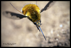 Large bee fly, Bombylius major (I.B. 123) Tags: macro fly flying insects bee beefly bombyliusmajor