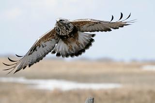 Rough-legged Hawk in Flight DSC_3888