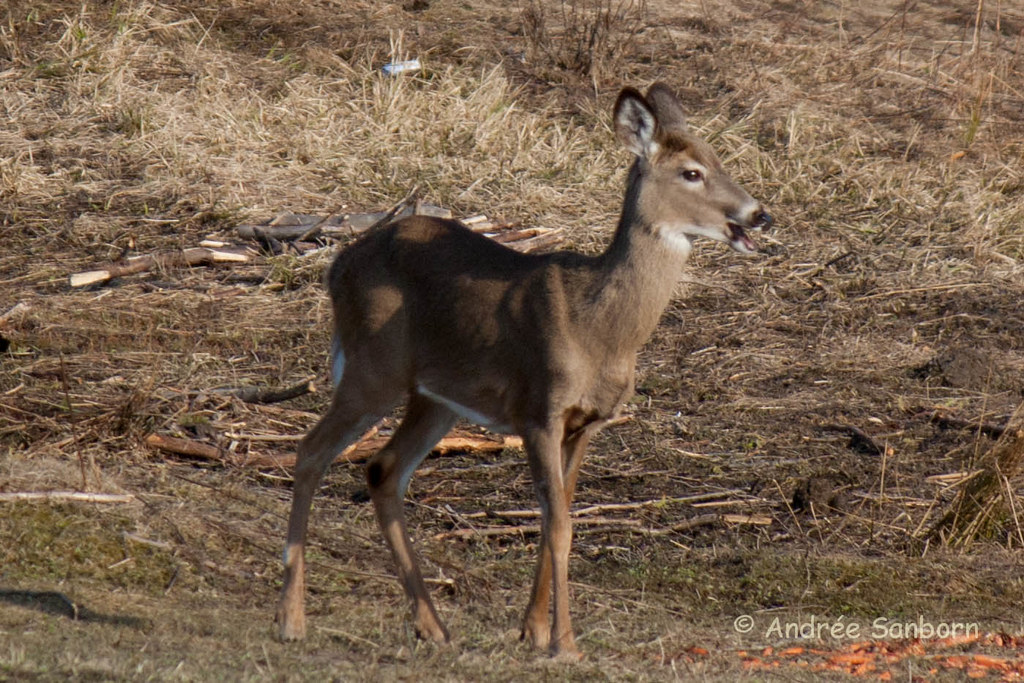 White-tailed doe (28 of 27).jpg