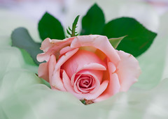 Artistique (Marta Fradusco Photography) Tags: pink flower colors rose soft pastel rosa romance marta elegant fiore allrightsreserved queenrose fradusco martafraduscophotography