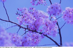 2011-04-14 0489 Sakura, Prunus serrulata, the weeping cherry tree blossoms (Badger 23 / jezevec) Tags: park pink flowers flower tree cherry spring blossom indianapolis blossoms indiana anh bloom  flowering sakura blooms holliday weeping hoa blooming prunus cerezo weepingcherry    kirschblte   jezevec cvijet serrulata shidarezakura prunusserrulata o krsbr   cseresznyevirg japanskt  hoaanho kirsuberjatr badger23 namumulaklak  trenjin    seresang trenjincvijet