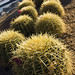 little balls of cactus