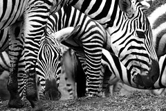 Art of Confusion (Mitch Seaver) Tags: africa blackandwhite bw abstract nature monochrome animals canon tanzania niceshot wildlife places safari zebra ngorngoro eastafrica blackwhitephotos ngorngorocrater mygearandme mygearandmepremium mygearandmebronze mygearandmesilver mygearandmegold mygearandmeplatinum