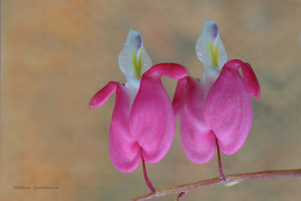 the world's best photos of dicentra and fleur - flickr hive mind