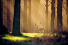 graceful (andrew evans.) Tags: lighting morning trees england sun mist nature misty fairytale forest sunrise golden kent spring woods nikon bokeh wildlife deer ethereal rays sunrays wonderland f28 d3 400mm