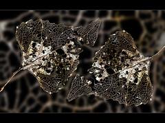 Skeletal remains, HMM (Ianmoran1970) Tags: skeleton leaf fresh hmm ianmoran macromonday skelatal ianmoran1970