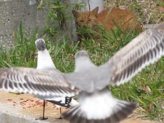 food seagulls playing birds animals cat fun backyard florida lurking