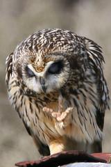 """Talk to the hand..."" (Paridae) Tags: owls birdsofprey shortearedowl birdsofbritishcolumbia birdsofboundarybay"