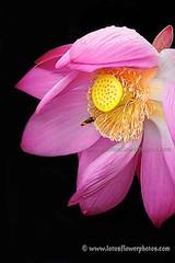 Lotus Flower # 56 (Amazing Tan Photos) Tags: flowers meditation  macrophotography   flordelotus lotusflowers flowerphotography fiorediloto hoasen   lotosblume bungateratai lotusflowerpictures   kwiatlotosu lotusflowerimages lotusblomst lotusflowerphotos fleurdeloto flordeloto lotusbloem lootuskukat lotosovkvty lotusblommorlotusblomster buddhistsymbol