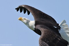 Bald Eagle 6 - N.B Photography