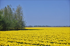 Dutch Tulips in Spring (Foto Martien) Tags: holland color colour netherlands dutch field yellow bulb season spring tulips colorfull ui may nederland tulip april mei noordoostpolder bol lente coloured geel veld flevoland tulipfield tulipa tulipe tulpen kleurrijk tulpe dutchlandscape tulp bulbfield kleuren polychrome voorjaar bollenveld bont tulpenveld veelkleurig akker kleurig lle tulpenfeld cultivatedflower nederlandslandschap tulpenbol a550 tulpenfestival tulpenroute campodetulipanes martienuiterweerd carlzeisssony1680 champdetulipes martienarnhem symbolofholland symbolofthenetherlands sonyalpha550 mygearandme mygearandmepremium martienholland mygearandmebronze mygearandmesilver mygearandmegold mygearandmeplatinum mygearandmediamond fotomartien tplringexcellence tulpenakker campoditulipano lalealan gecultiveerdebloem botanischetulp gekweektetulp