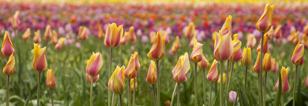 wooden shoe tulip farm 23