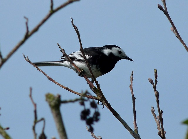 24250 - Pied Wagtail, River Coly, Devon