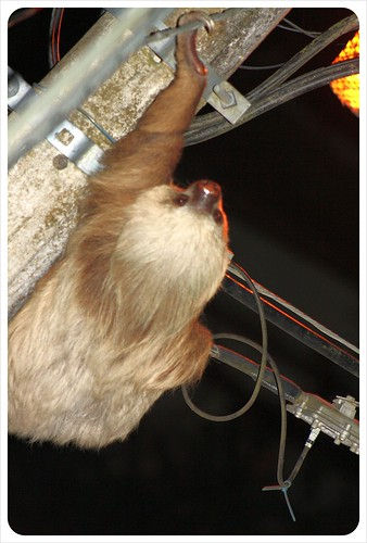 Sloth in Monteverde
