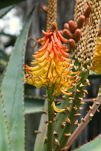 huntington aloe speciosa