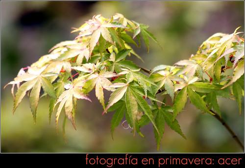 fotografía en primavera: acer