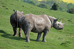 The Port Lympne roadblock rhinos return to pasture (Daves Portfolio) Tags: animals kent african safari rhino rhinocerous safaripark wildanimals portlympne wildlifeexperience aspinall