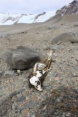 IMG_9145 (RubyWhatever) Tags: antarctica seal bones dryvalleys lakebonney mummifiedseal