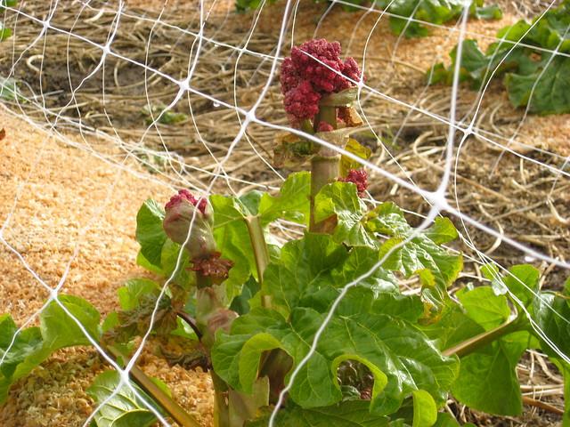 Rhubarb + Flower 04