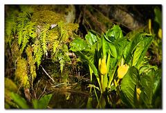 A skunk cabbage by any other name would smell as sweet (Repp1) Tags: flower fleur yellow jaune flora marsh marais wetland riparian skunkcabbage d300 lysichitonamericanus cs5 riverains greenbeautyforlife fauxarum lysichitejaune