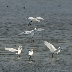 La piramide (Teone!) Tags: italy bird nature moving italia pyramid wildlife natura wetlands birdwatching avifauna monfalcone piramide gmt gorizia uccello birdwatcher oasi platalealeucorodia naturalreserve friuliveneziagiulia eurasianspoonbill riservanaturale isoladellacona bej spatola zoneumide anawesomeshot diamondclassphotographer flickrdiamond focidellisonzo mothernaturesgreenearth