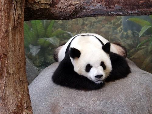 Panda Bear - Memphis Zoo