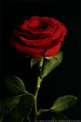 (Mohammed Almuzaini   ) Tags: flower canon nikon flicker