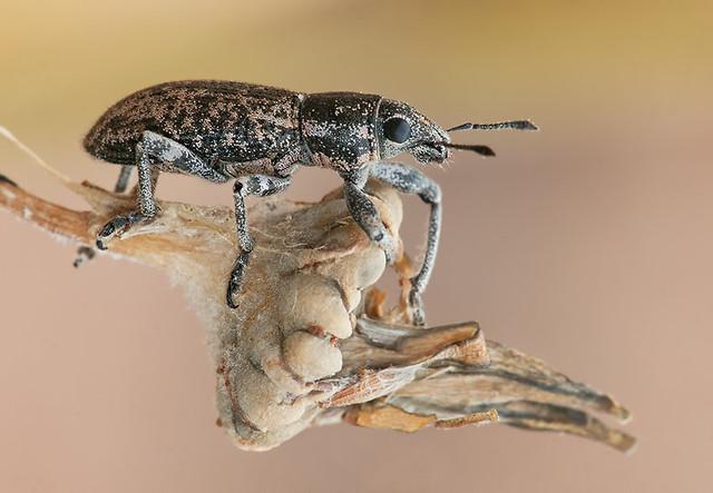 Herpisticus eremita