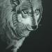 wolf gaze  by Marilu Tousignaut