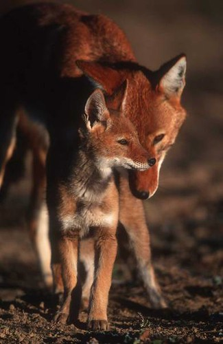 Ethiopian Wolf Field Project by Born Free Photos