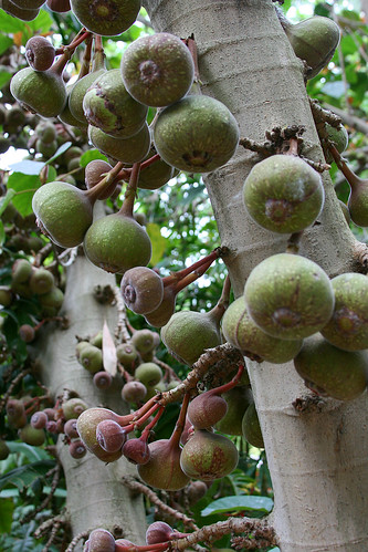 huntington ficus fruit