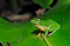 DSC_7228_s (jolod307) Tags: macro nikon taiwan frog micro frogs biodiversity 105mm naturesfinest 樹蛙 105mmvr 105mmmicro 莫氏樹蛙 d700 nikond700 莫氏
