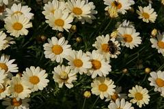 Margaritas (marathoniano) Tags: españa naturaleza flores flower nature landscape spain paisaje murcia espagne margaritas fortuna marathoniano lagarapacha ramónsobrinotorrens