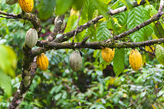 Cocoa plantation tour (DaveMosher) Tags: vacation costarica jungle tropics centralamerica cocoatree cocoafruit