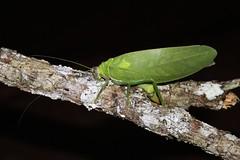 Pseudophyllus titan
