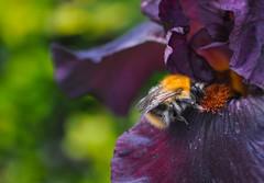 Bee in iris